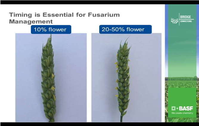 DarrenClark_Feb2020_Picture4_WheatFusarium.png