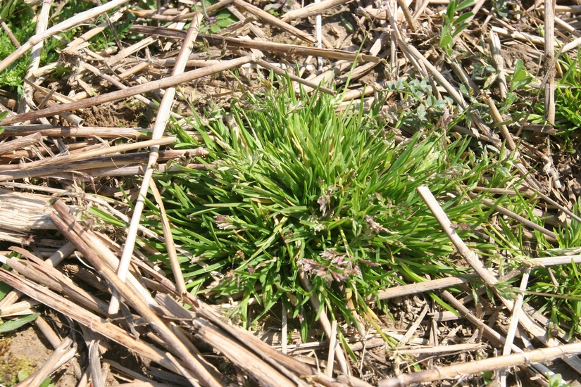 AnnualBluegrass_mizzou_weedID.jpg